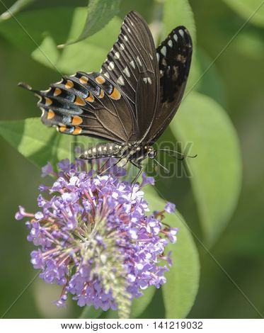 A Spicebush Swallowtail (Papilio Troilus) feeding on nectar from a cluster of flowers on a Butterfly Bush in the summer.