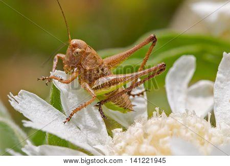 Macro shot of a brown grasshopper on a white flower. Photo taken in Karpasia peninsula in Cyprus in April 2005