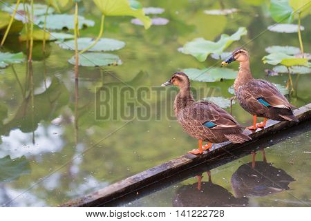 Ducks stand on wood bar and finding food on pond with lotus leaf.