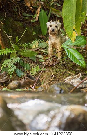 Grey schnauzer dog sitting at the side of a river