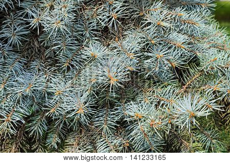 Background of blue spruce branches tender green and blue needles