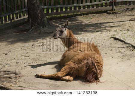 brown hair lama lay on ground in farm