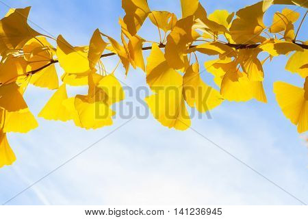 Vibrant fall yellow golden ginkgo biloba tree foliage on blue sky