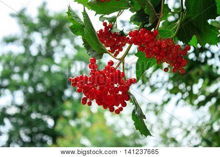 Bunches of red rowan. The rowan matures