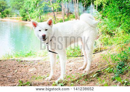 female white dog. Japanese Akita. Akita Inu. summer near the water. green background
