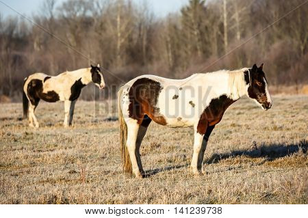 A pair of pinto horses standing in a field in Wisconsin in the fall.