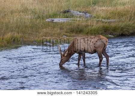 a spike bull elk drinking in a river