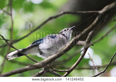 A young Blue Jay keeping watch in a tree