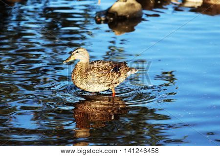 A female mallard walking out of the pond