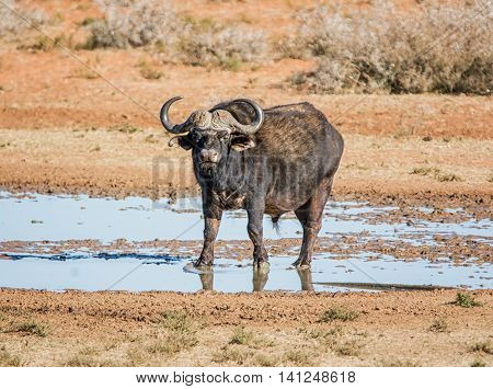 An African Buffalo bull at a watering hole in Southern African savanna