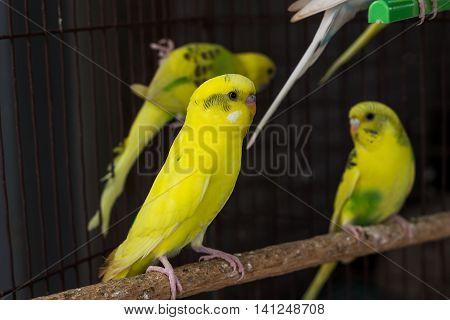 Yellow Budgie,  Budgerigar Bird