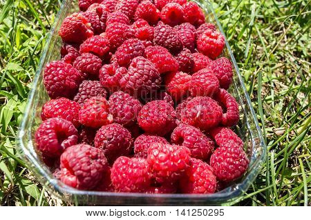 Freshly-picked fruits raspberries in a basket of half a kg on the lawn