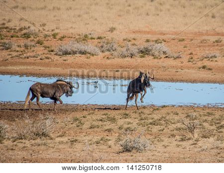 Black Wildebeest at a watering hole in savanna in Southern Africa