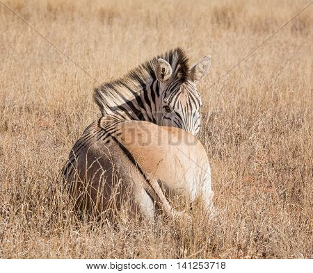 A Burchell's Zebra lying down in Southern African savanna
