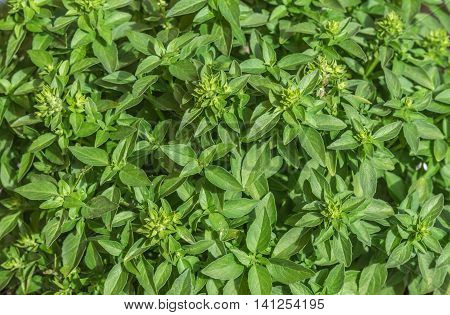 Small basil plant leaves creating a green background texture