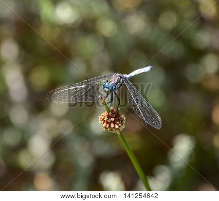 A blue dragonfly known as a Julia Skimmer on a plant stem in Southern Africa