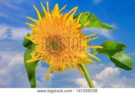 a flower picture decorative sunflowers on a blue sky background