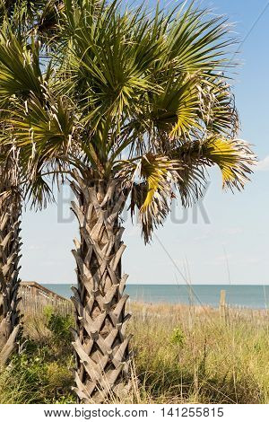 Palm Tree on Myrtle Beach East Coastline at the Boardwalk near sea ocean view