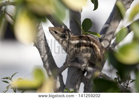 small chipmunk hiding in the foliage India