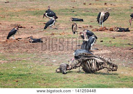 Marabou eat around skeleton dead buffalo in the park Chobe Botswana