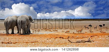 panorama of elephants drinking from a waterhole with a vibrant blue cloudy sky and springbok in the background