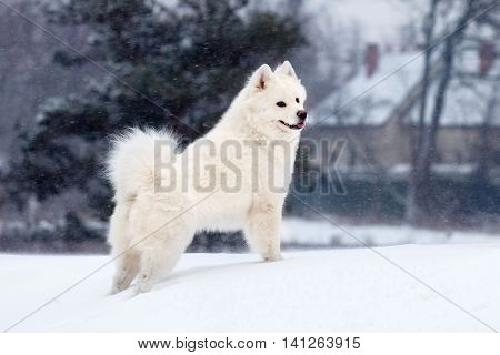 white Samoyed dog walks in winter when it's snowing