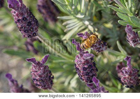 Honey bee on a lavender flower, pollination
