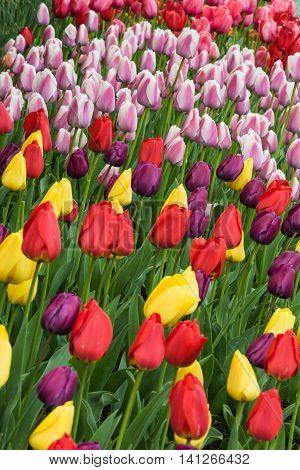 Vertical view of many different colored tulips on garden bed with purple, yellow, red and pink