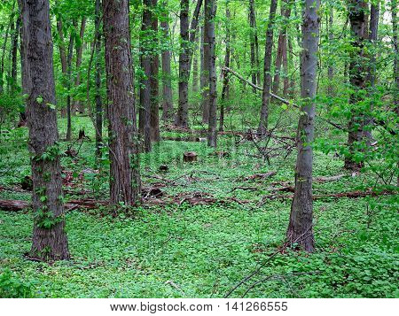 Dark Green Forest landscape. In the woods with trees, green ground covering and fallen logs.