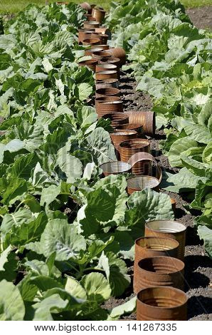 A row of rusty tin cans left in a garden which protected young cabbage plants in their infancy