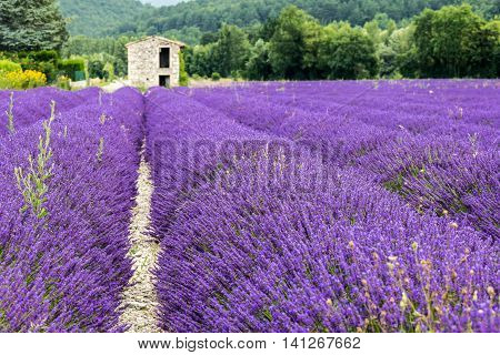 A shelter in a lavander field in Province France