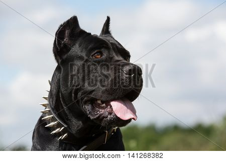 Black dog on a background of blue sky. Close-up.Breed Cane Corso.
