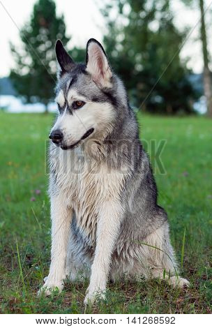 wet fluffy, adult dog alaskan malamute sitting in nature late afternoon, portrait in full growth