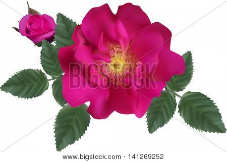illustration with dark pink brier isolated on white background