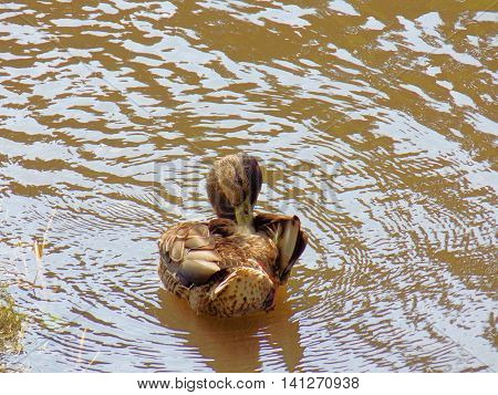 Cleaning duck on river in wild nature