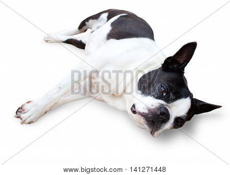 Sleepy Boston Terrier side sitting isolated on white background.