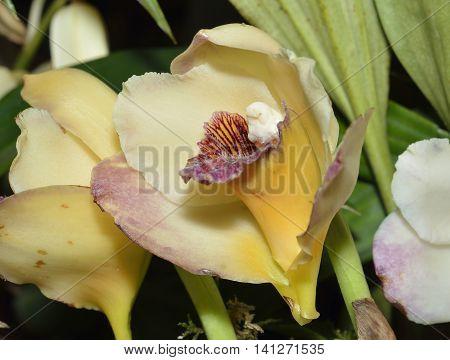Harrison's Bifrenaria Orchid - Bifrenaria harrisoniae From coastal Brazilian