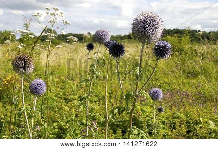 Purple spherical flowers on a meadow on a lovely summer day