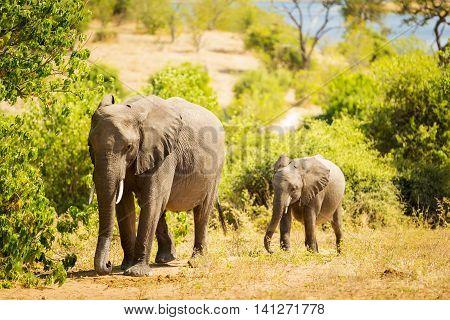 Baby Elephant In Africa