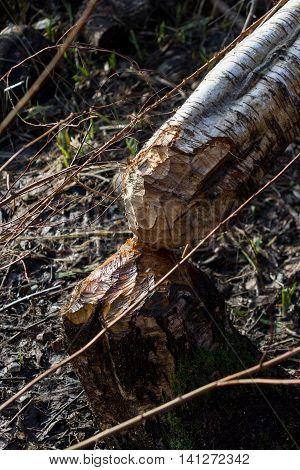 Beaver cutting down a tree close up
