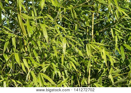 Green Bamboo leaves for background close up