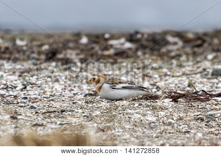 Snow Bunting in bc canada close up