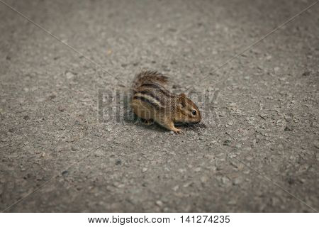 Chipmunk On Concrete For Food In Zoo