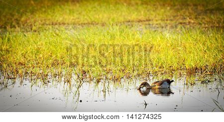 Duck On The Chobe River