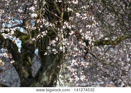 plum flower blossoms in spring nature background