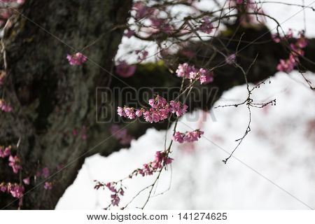 Blooming whitcomb cherry in spring close up