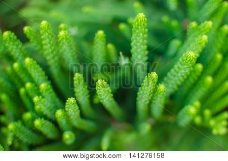 Beautiful green fir tree twigs on blurred background outdoors. Young conifer tree branch. The background of bright green spruce. Beautiful nature spring wallpaper for desktop. Shallow depth of field.