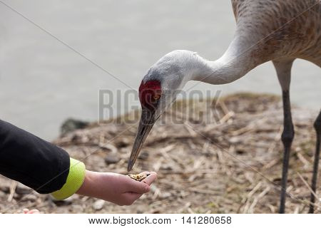 hand feeding a Sandhill Crane close up