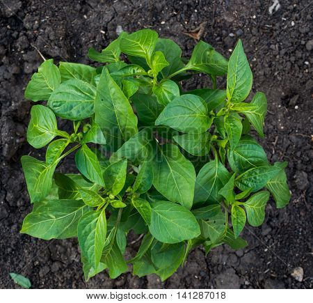 Young green shoot Bulgarian pepper planted in the ground. View from above.