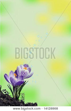 two crocus flowers vector illustration